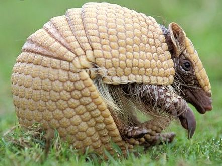 ARKive image GES037401 - Brazilian three-banded armadillo